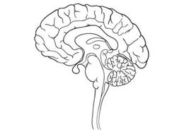 2.-The-Brain-Handout.pptx