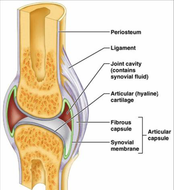 synovial-joint.jpg