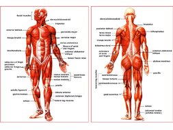 Muscle-Diagram---front-and-back.ppt