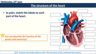 2-function-structure-heart-arteries.pptx