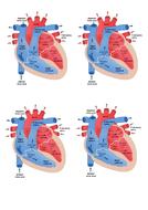 heart-diagram-handout.docx