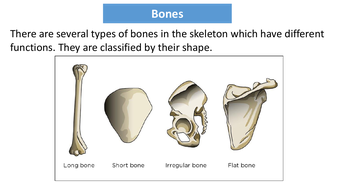 preview-images-structure-of-skeleton-powerpoint-12.pdf