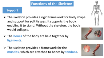 preview-images-structure-of-skeleton-powerpoint-2.pdf