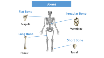 preview-images-structure-of-skeleton-powerpoint-13.pdf