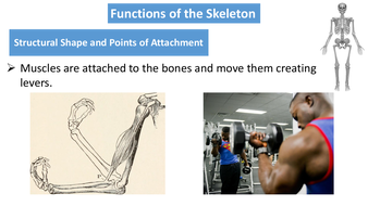 preview-images-structure-of-skeleton-powerpoint-4.pdf