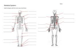 Skeletal-Diagram.docx