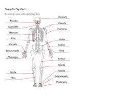 Skeletal-Diagram-Answers.docx