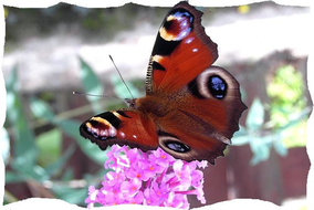 butterfly-spur.jpg