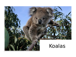 Koalas-Information-Text.pptx