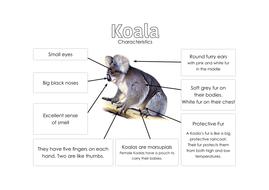 Koala---Characteristics.pdf