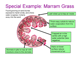 Lesson-2---Marram-Grass-Information-sheet.doc