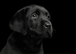 labrador-retriever-puppy-isolated-on-black-background-sergey-taran.jpg