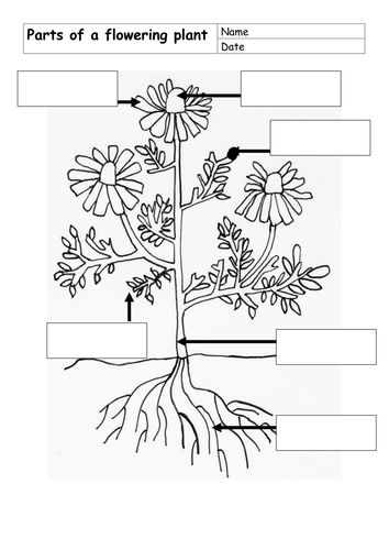 Parts of flowering plant by dinx67 - Teaching Resources - Tes