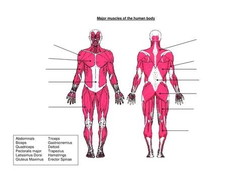 muscles of the human body by djladyk - teaching resources - tes, Muscles