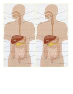 Digestive system diagram handout.docx