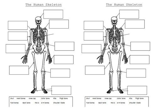 The skeleton and muscles Powerpoint and worksheets by Hilly577 – Human Skeleton Worksheet