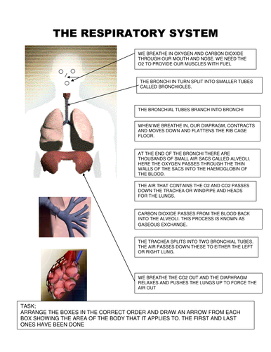 Respiratory System By Ilovepe Teaching Resources Tes