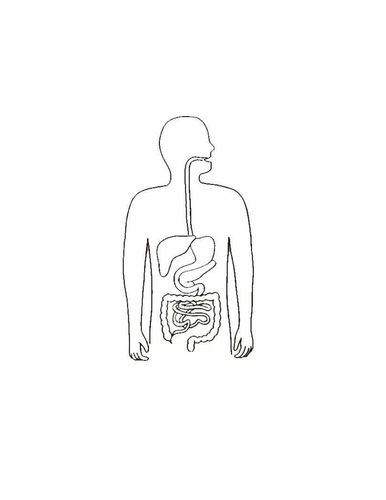 Blank digestive system | Teaching Resources