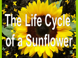 The Life Cycle Of A Sunflower By Misselven Teaching