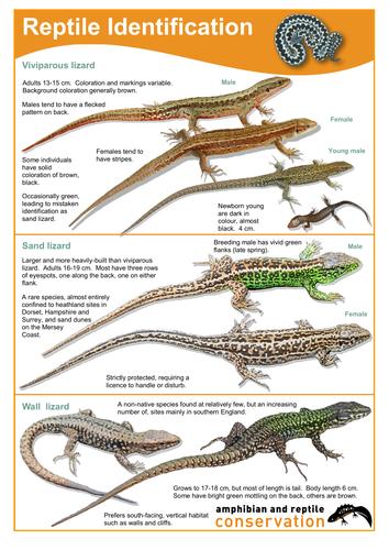 Florida Lizards Guide - Florida eco traveler guide