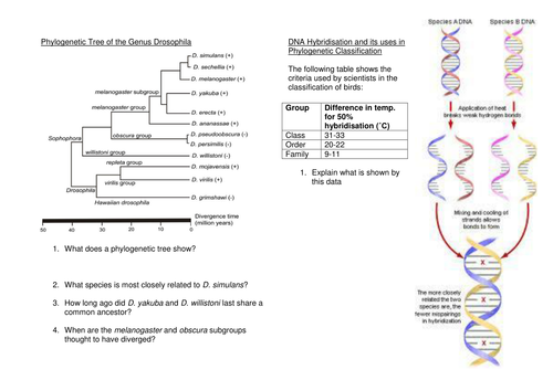 Phylogenetics/DNA Hybridisation worksheet by jings65 - Teaching ...