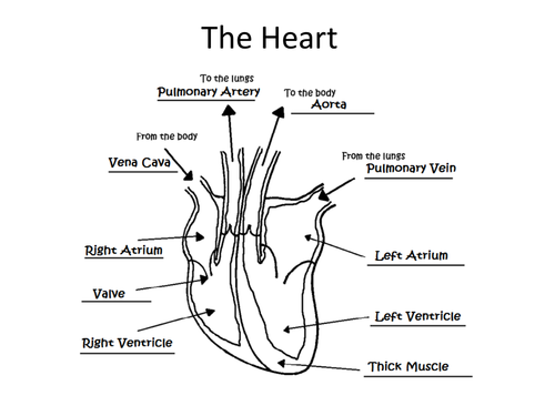 Simple Diagram Of The Heart To Label Ks2 – Heart Worksheet