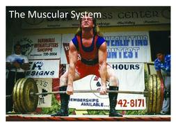 GCSE PE - Muscular system