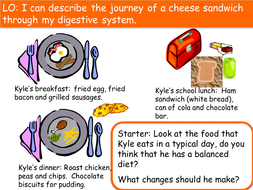 the journey of the cheese sandwich digestive system