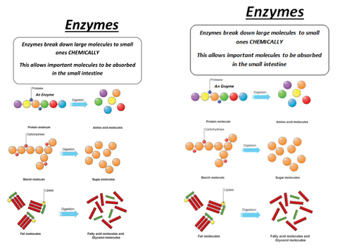 Enzymes Worksheet Worksheets For School - Toribeedesign