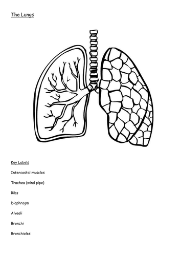 diagram of the lungs including keywords by hellard11 teaching resources tes. Black Bedroom Furniture Sets. Home Design Ideas