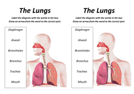 Lungs Lesson with worksheet