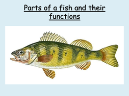 parts of a fish and their functions by choralsongster teaching