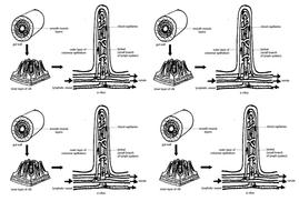 villi diagram.docx