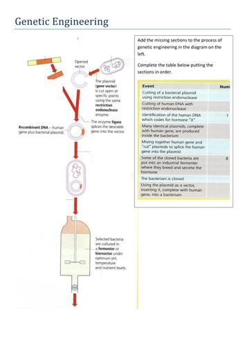 Genetic Engineering Worksheet By Lauraroberts999