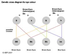 Genetic cross eye colour by abpischools teaching resources tes genetic cross eye colour ccuart Choice Image