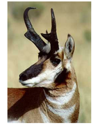 English Language Arts - Antelope picture.doc