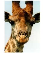 English Langauge Arts giraffe[1].doc