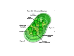 Chloroplast structure for photosynthesis by mba06ht teaching chloroplast structure for photosynthesis ccuart Images