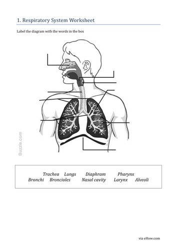 Respiratory system by khartog teaching resources tes ccuart Choice Image